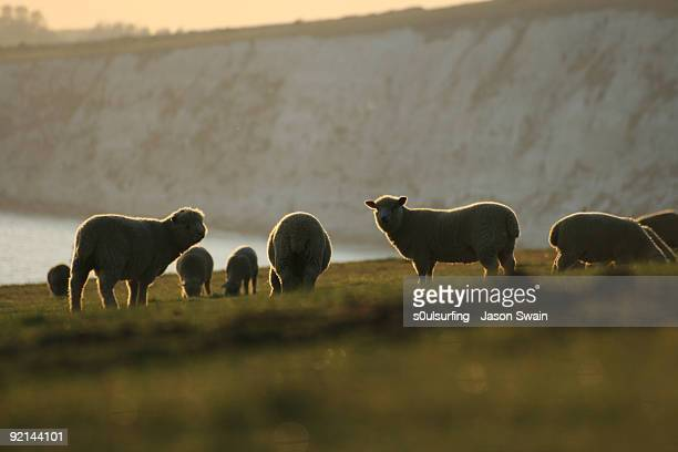 sheep - s0ulsurfing stock pictures, royalty-free photos & images