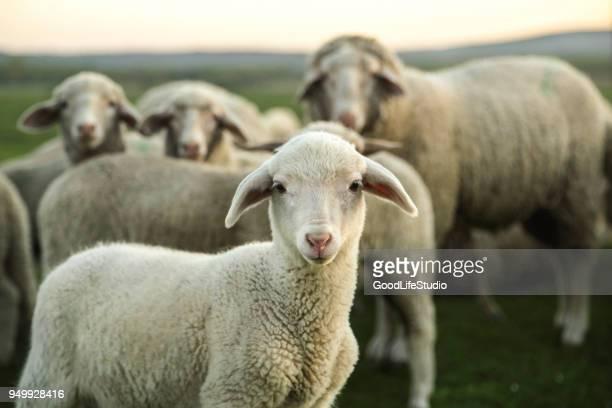 sheep - agnellino foto e immagini stock
