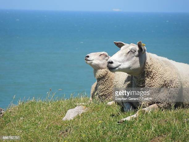 Sheep Relaxing On Grass Against Sea
