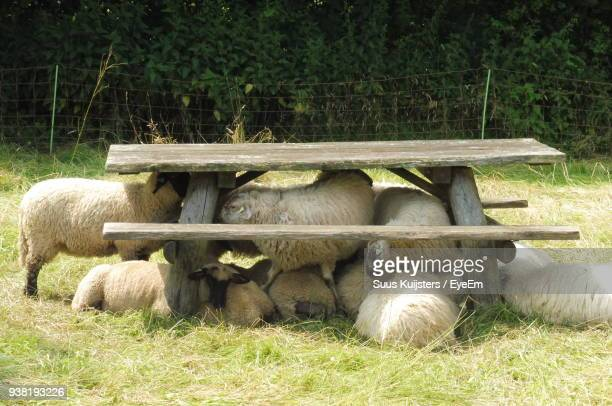 sheep relaxing under picnic table on grassy field - picnic table stock pictures, royalty-free photos & images
