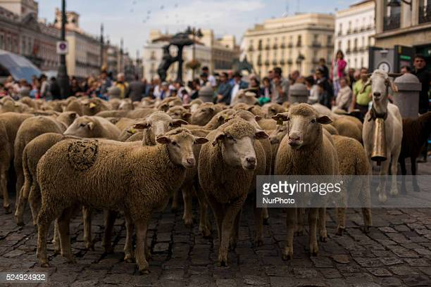 Sheep rest at la puerta del sol as they march guided by shepherds through the centre of Madrid Spain Sunday Nov 2 2014 Shepherds guided a huge flock...