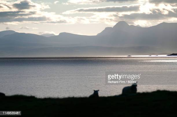 sheep returning to graze - richard flint stock pictures, royalty-free photos & images