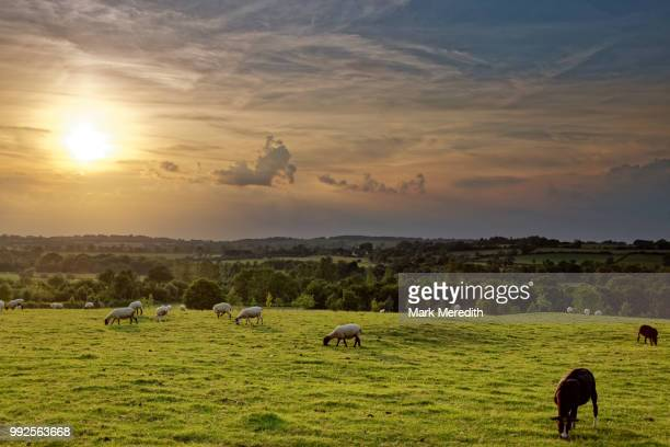 sheep roam on a cotswold summer evening in aston le walls near bannury,  northamptonshire, england - ノーサンプトンシャー ストックフォトと画像