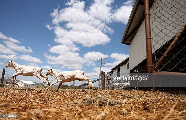 Sheep run out of the yard as they are counted out after a run during spring shearing at Cherry Hill Pastoral Company property on October 19 2009 in...