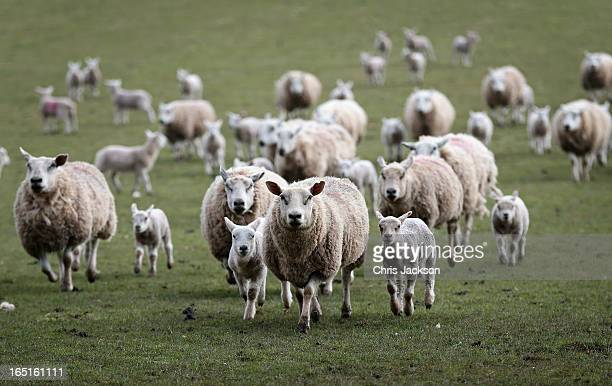 Sheep rush in to eat feed as farmer Dai Brute feeds them in one of his fields on Easter Day at Gwndwnwal Farm on March 31, 2013 in Brecon, Wales. Dai...