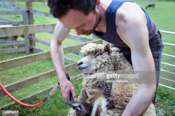 Sheep shearer shearing sheep in pen in field