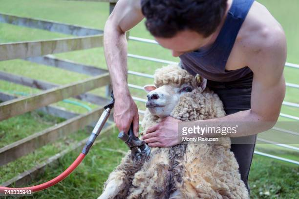 sheep shearer using shearing tool on sheep - tadcaster stock photos and pictures
