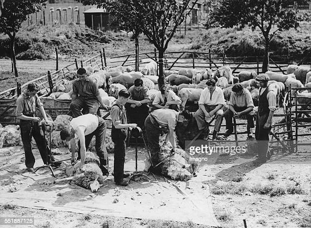 Sheep Shearing at the Kent Farm Institute in Borden / Kent 1st June 1937 Photograph