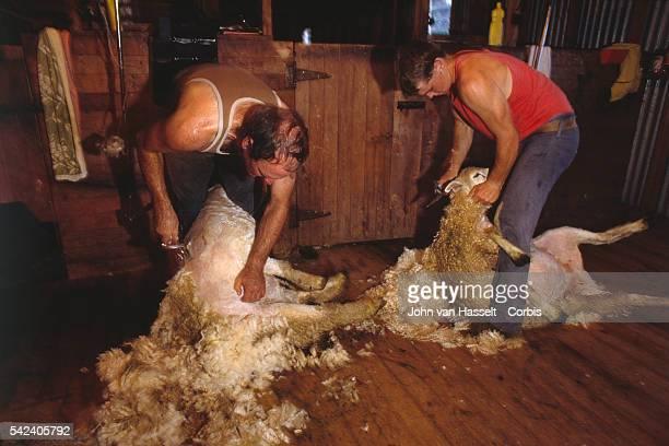 Sheep Shearing in New Zealand