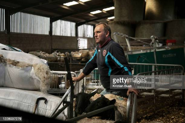 Sheep shearing season on 18th of June 2020, in Stow in the Scottish Borders, Scotland, United Kingdom. Stewart Runciman has got 800 sheep and sheep...