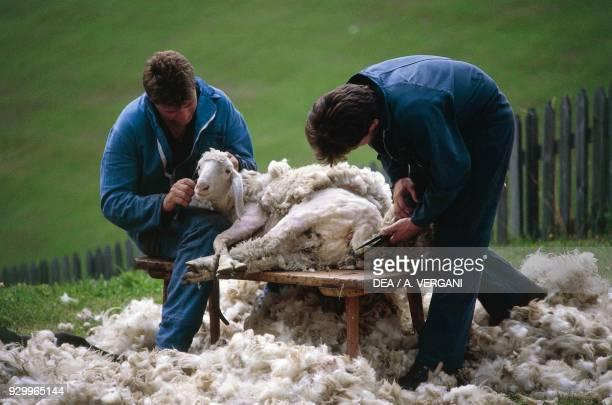 Sheep shearing Vernago Val Senales TrentinoAlto Adige Italy