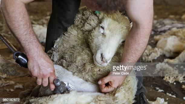 sheep sheering - ウール ストックフォトと画像
