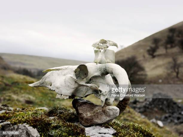 a sheep skull, vertebra and bird skull on top of a rock with yorkshire dales in the background - vertebras fotografías e imágenes de stock