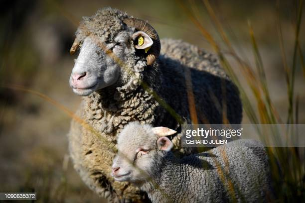 Sheep stand in a field next to Arles southeastern France on January 28 2019