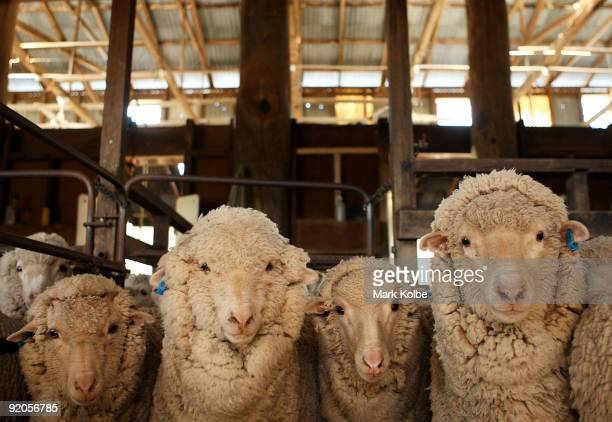 Sheep stand in a holding pen at the start of a day of spring shearing at Cherry Hill Pastoral Company property on October 19, 2009 in Uralla,...