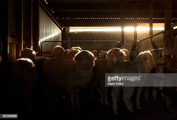 Sheep stand in a holding pen at the start of a day of spring shearing at Cherry Hill Pastoral Company property on October 19 2009 in Uralla Australia...