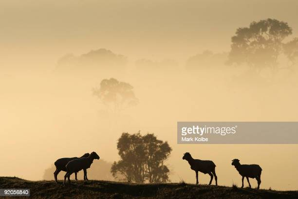Sheep stand in a paddock as the sun rises before the start of a day of spring shearing at Cherry Hill Pastoral Company property on October 19, 2009...