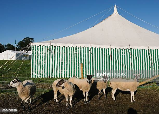 Sheep stand in a pen at the British National Sheep Dog Trials on August 6, 2016 in York, England. Some 150 of the best sheepdogs and handlers in the...