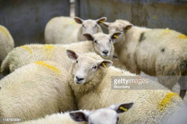 Sheep stand in pens during the weekly prime sheep cast ewes livestock auction at Thirsk Farmers Auction Mart Ltd in Thirsk UK on Thursday Oct 24 2019...