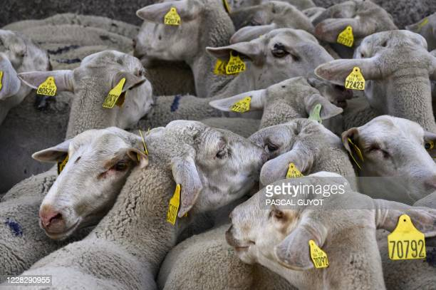 Sheep stand on August 27, 2020 in Prevencheres, southern France, as shepherds and sheep breeders of the pastoral group of Finiels descend one of the...