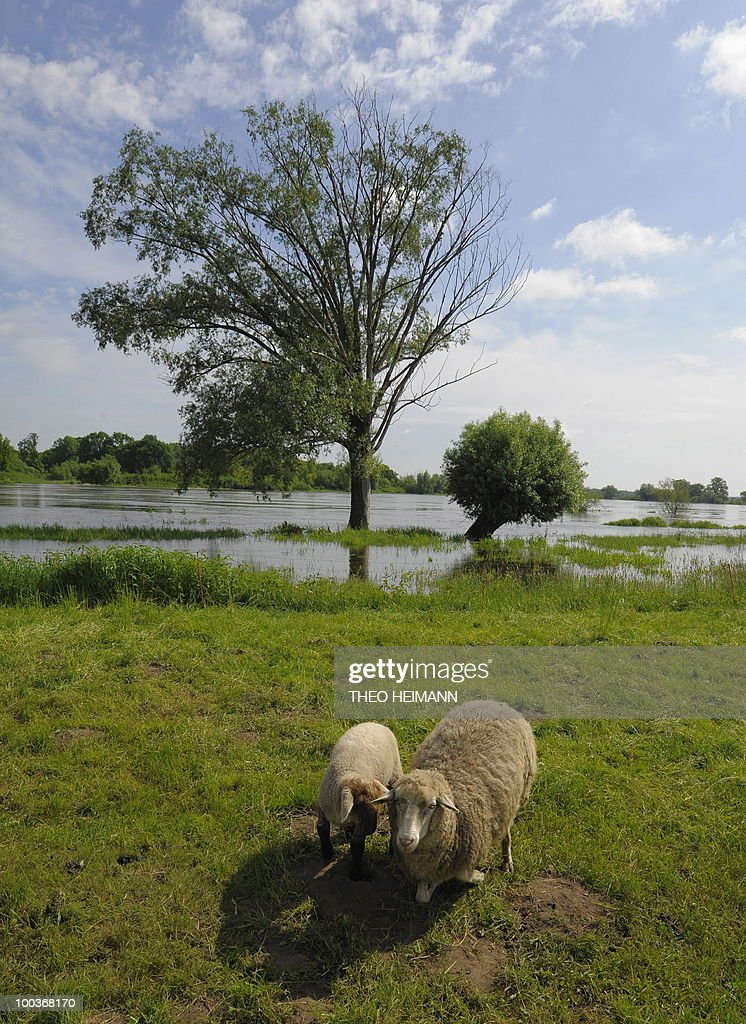 Sheep stand on the flooded plains of the Oder river in Ratzdorf near the Polish-German border on May 24, 2010. Public authorities expect the highest level of the flood wave to come to Germany on Wednesday or Thursday. Floods sweeping across Poland have killed 10 people in the past week, and caused damage estimated at more than 2.4 billion euros (3.2 billion dollars).