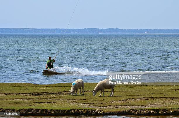 Sheep Standing Against Sea With Man Kiteboarding Against Sky