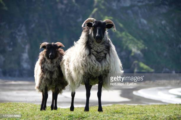 sheep standing in a field - sheep stock pictures, royalty-free photos & images