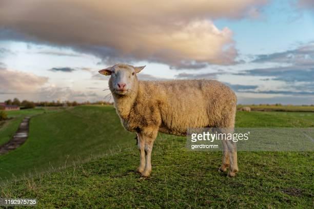 sheep standing on a dyke, east frisia, lower saxony, germany - un animal fotografías e imágenes de stock