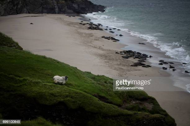 sheep standing on a hill by the beach, great blasket island, county kerry, ireland - great blasket island stock pictures, royalty-free photos & images