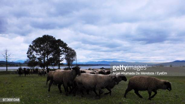 Sheep Standing On Grassy Field Against Cloudy Sky