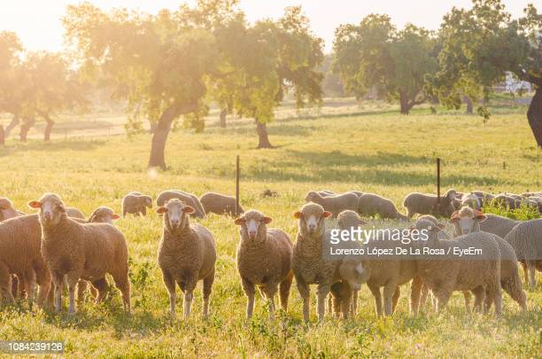 sheep standing on grassy field - herbivorous stock pictures, royalty-free photos & images