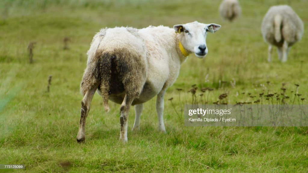 Sheep Standing On Grassy Field : Photo