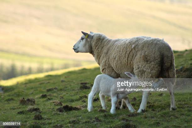 Sheep Standing On Grassy Field