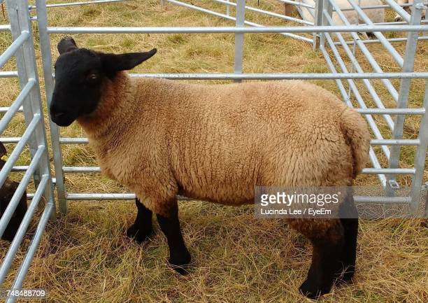 sheep standing on hay in pen - lucinda lee stock photos and pictures