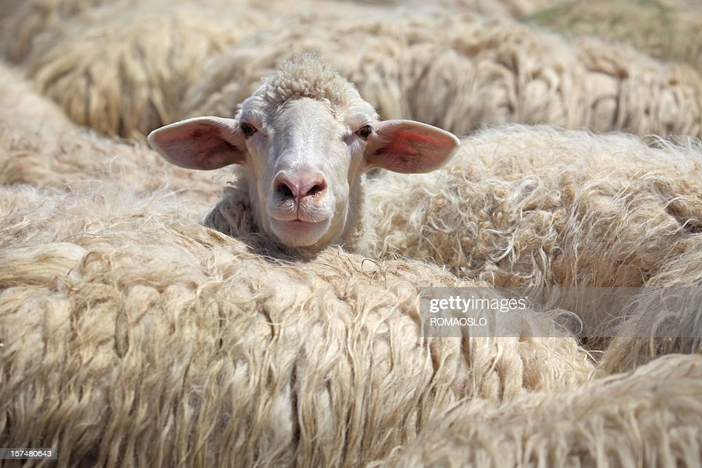 Sheep standing out from the crowd, Tuscany Italy : Stock Photo