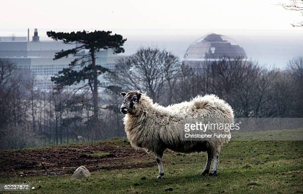 A sheep stands near the Sellafield nuclear plant on February 24 in Sellafield England The 38 square km site on the Cumbrian coast produces nuclear...