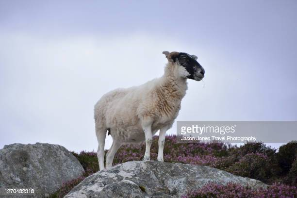 a sheep stands on a rock in the highlands of harris - animal stock pictures, royalty-free photos & images