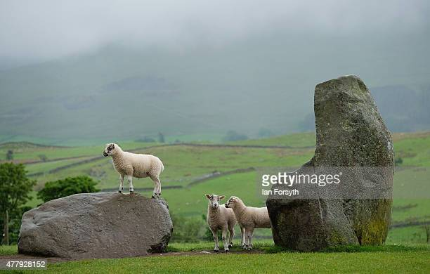 A sheep stands on one of the ancient stones at Castlerigg Stone Circle on the evening of the Summer Solstice on June 20 2015 in Keswick England...
