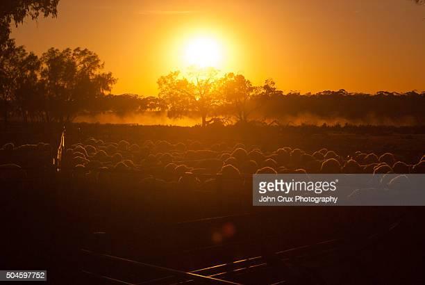 Sheep station sunrise