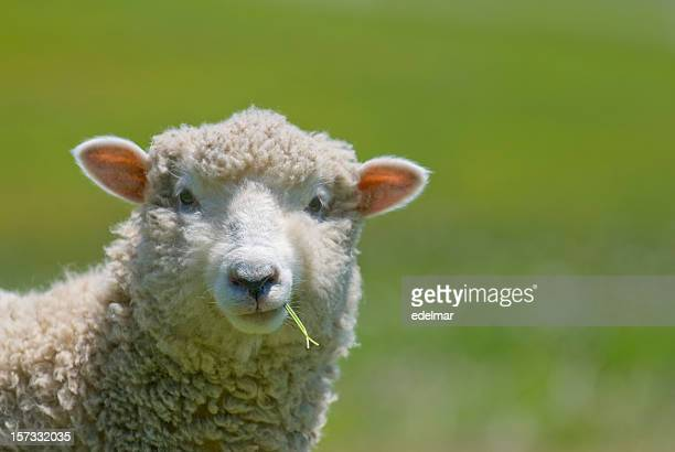 sheep strikes a casual pose - herbivorous stock pictures, royalty-free photos & images