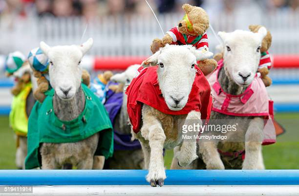 Sheep take part in the 'Lamb National' race during the Prince's Countryside Fund Raceday at Ascot Racecourse on April 3 2016 in Ascot England The...
