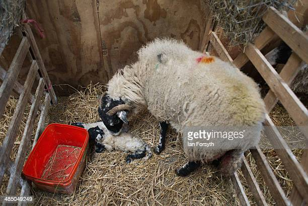 Sheep that have recently had their lambs wait in stalls to have them checked at Ravenseat the farm of the Yorkshire Shepherdess Amanda Owen on April...