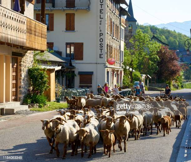 sheep transhumance - martial stock pictures, royalty-free photos & images