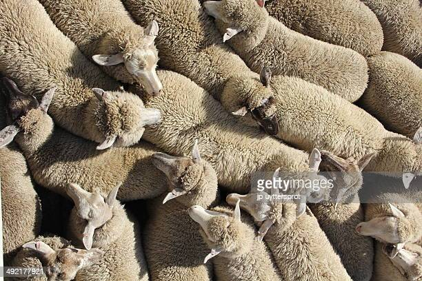 sheep transport. - flock of sheep stock photos and pictures