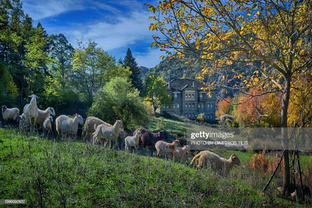 Sheep troop at Tsepelovo : Stock Photo