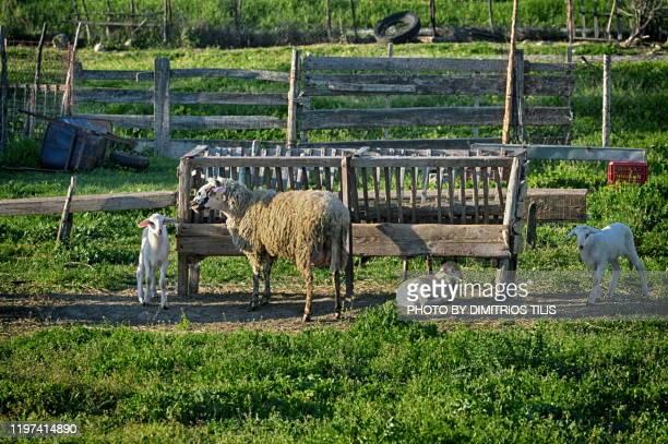 sheep trough - dimitrios tilis stock pictures, royalty-free photos & images