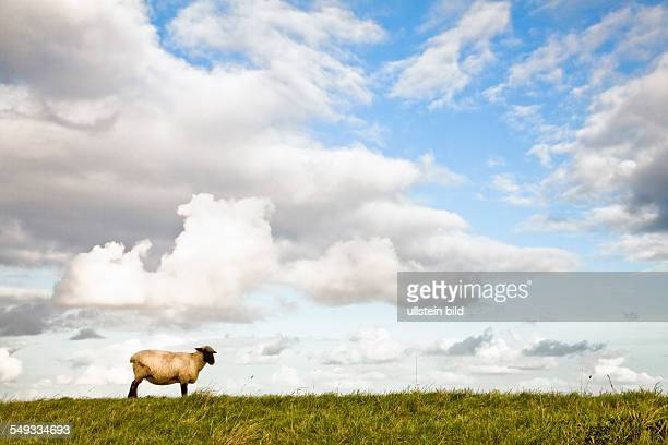 Sheep under clouds near Pilsum in East Friesland at the North Sea Coast of Germany