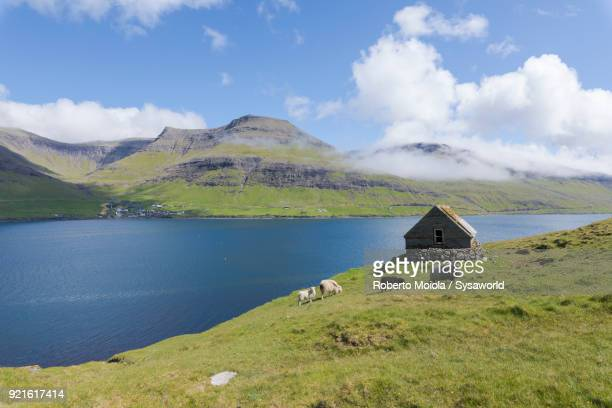 sheep, vagar island, faroe island - デンマーク ストックフォトと画像