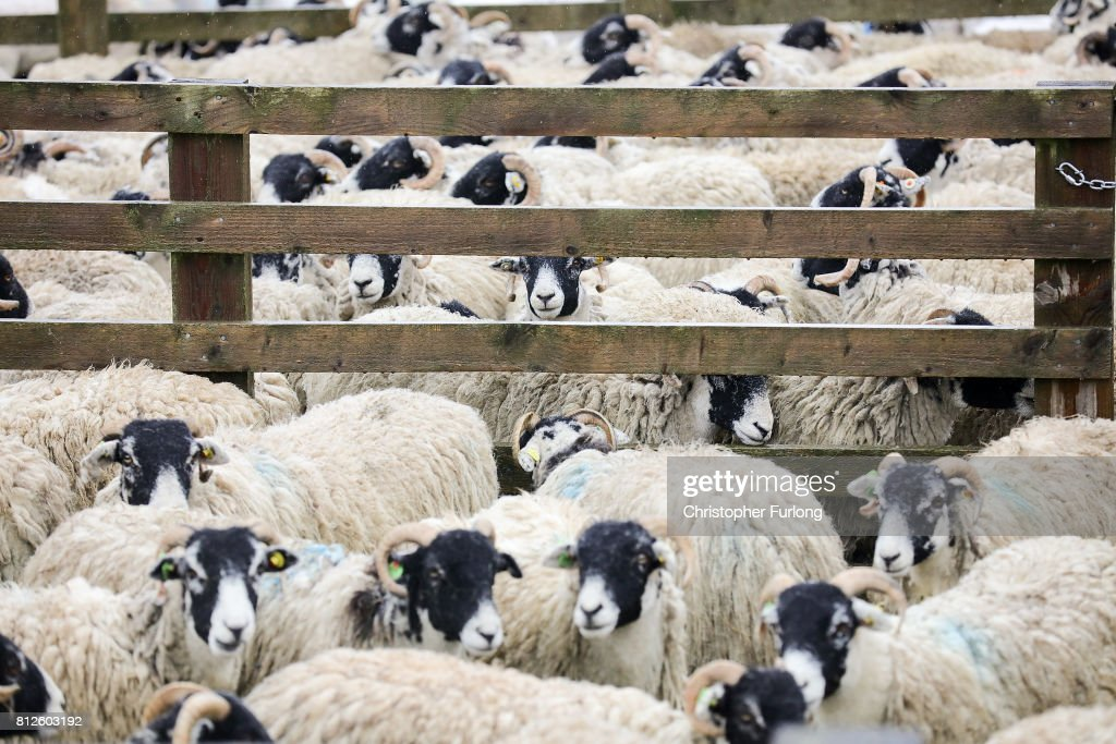 Sheep wait in their pen for the sheep shearing contest on the first day of the Great Yorkshire Show on July 11, 2017 in Harrogate, England. Despite inclement weather on the first day of the annual Great Yorkshire Show visitors flocked to the three day event first held in 1838. The show brings together agricultural displays, livestock events, farming demonstrations, food, dairy and produce stands as well as equestrian events. The popular agricultural show is over three days and celebrates the farming and agricultural community and their way of life.
