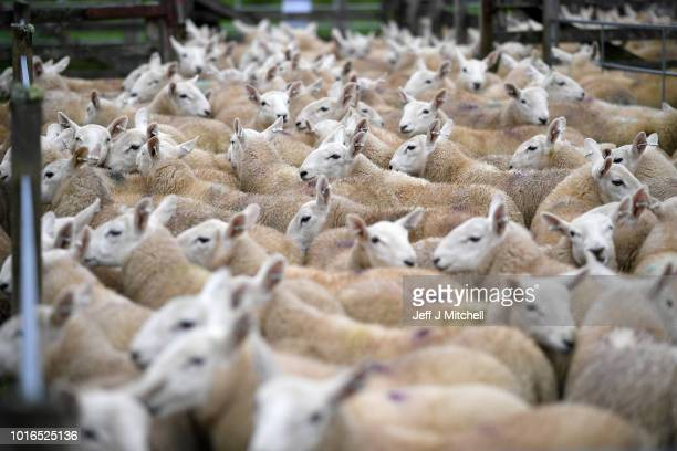 Sheep wait to be sold at Lairg auction during the great sale of lambs on August 14 2018 in Lairg Scotland Lairg market hosts the annual lamb sale...